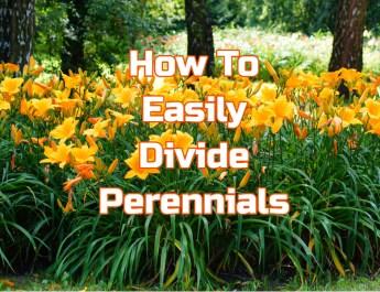 divide perennials