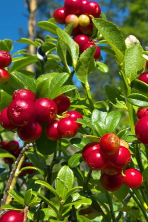 growing cranberries