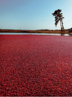 growing cranberries