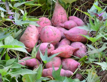 grow sweet potatoes