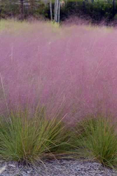 ornamental grass care