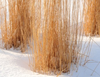Ornamental Grass Care – Why And How To Cut Back In The Winter