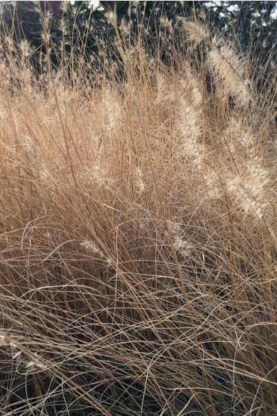 Ornamental Grass Care Why And How To Prune Back In The Winter