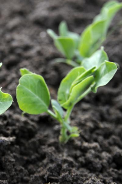 grow sugar snap peas