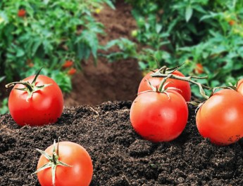 Determinate Vs. Indeterminate Tomatoes – Not All Tomatoes Are The Same!