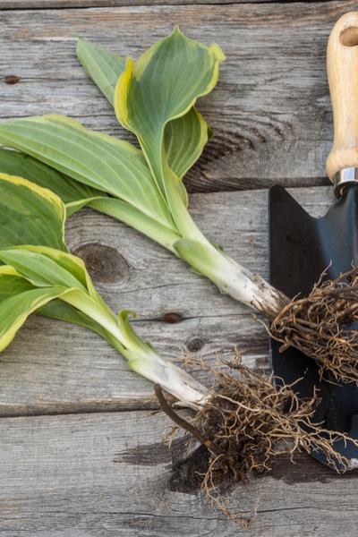 small hosta plant