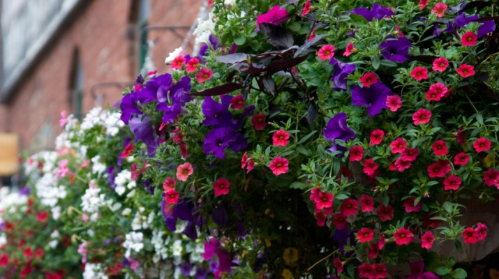 planting hanging baskets