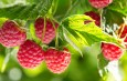 Growing Raspberries – How To Plant & Maintain This Tasty Perennial Crop