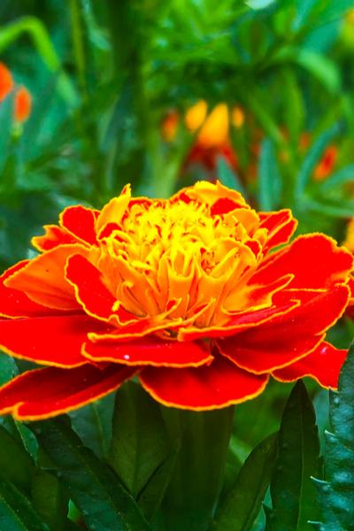 growing marigolds in the garden
