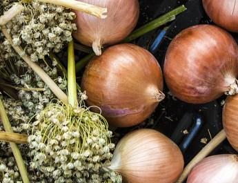 onion sets vs. onion sets