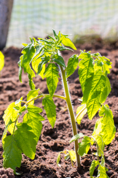 tomato planting mistakes - not mulching plants