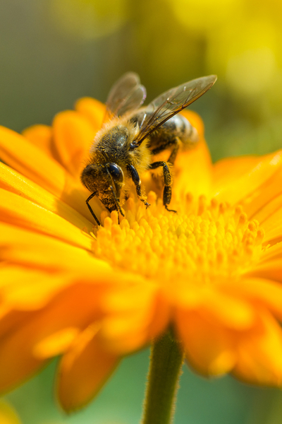 a honey bee works the bloom of a marigold