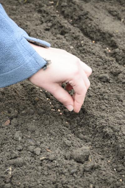 onion seed planting