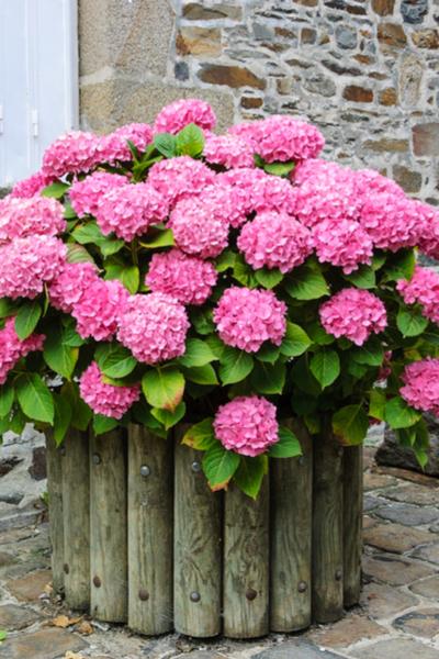 Hydrangea plants as potted plants
