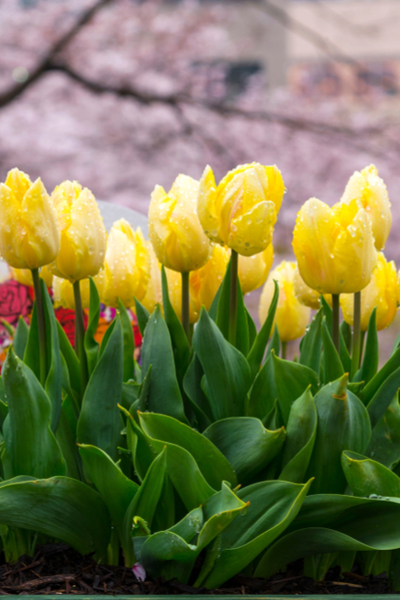 tulips after they bloom