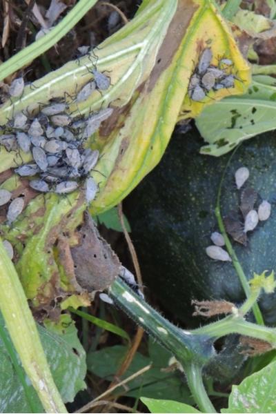 get rid of squash bugs