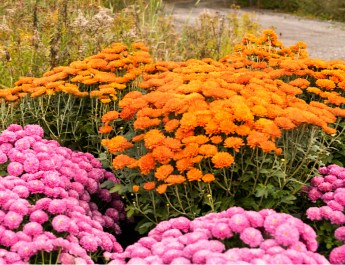 mums bloom in the fall