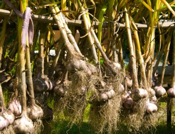 harvest and cure garlic