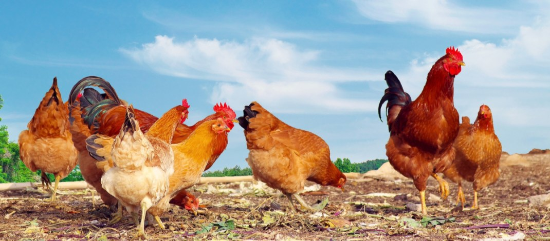 raising backyard chickens