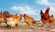 Gardening With Chickens, The Secret To Less Weeds, Pests & Better Soil!