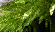 Dividing Ferns In The Fall – How To Split, Repot & Overwinter Ferns Inside