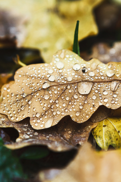 Wet leaves placed in a large pile will slowly break down to create leaf mold.