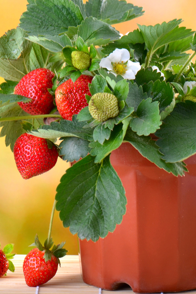 preparing potted strawberries for winter