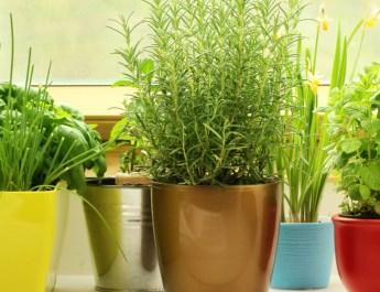 growing herbs on a windowsill