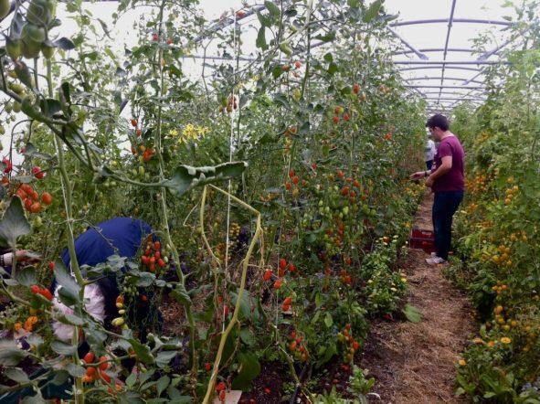james harvesting tomatoes