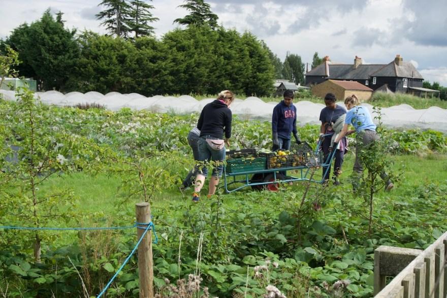 Harvesting courgettes on Sutton Community Farm