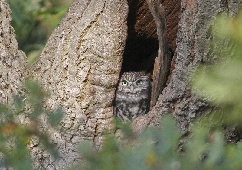 Little Owl in Beddington Farmlands, taken by Peter Alfrey