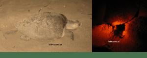 Desove de las tortugas en Nicaragua