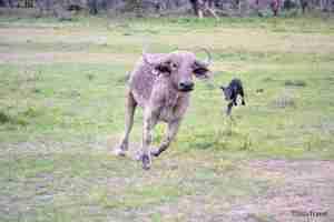 bufala y bufalito enfandados