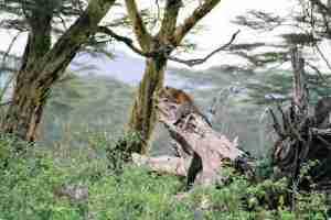leopardo sobre la acacia amarilla