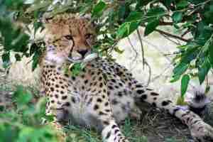 1º plano del leopardo