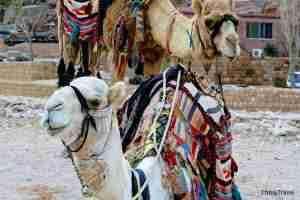 Camellos de Petra
