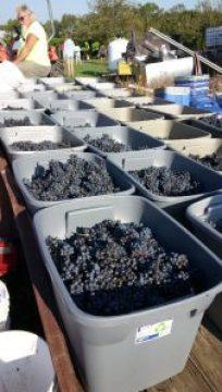 Harvesting the Cynthiana Grape