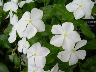 White Periwinkle