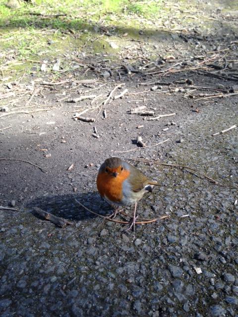 little fat robin