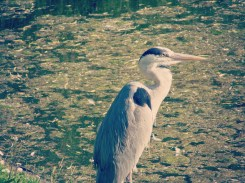 There were so many herons at Regent Park