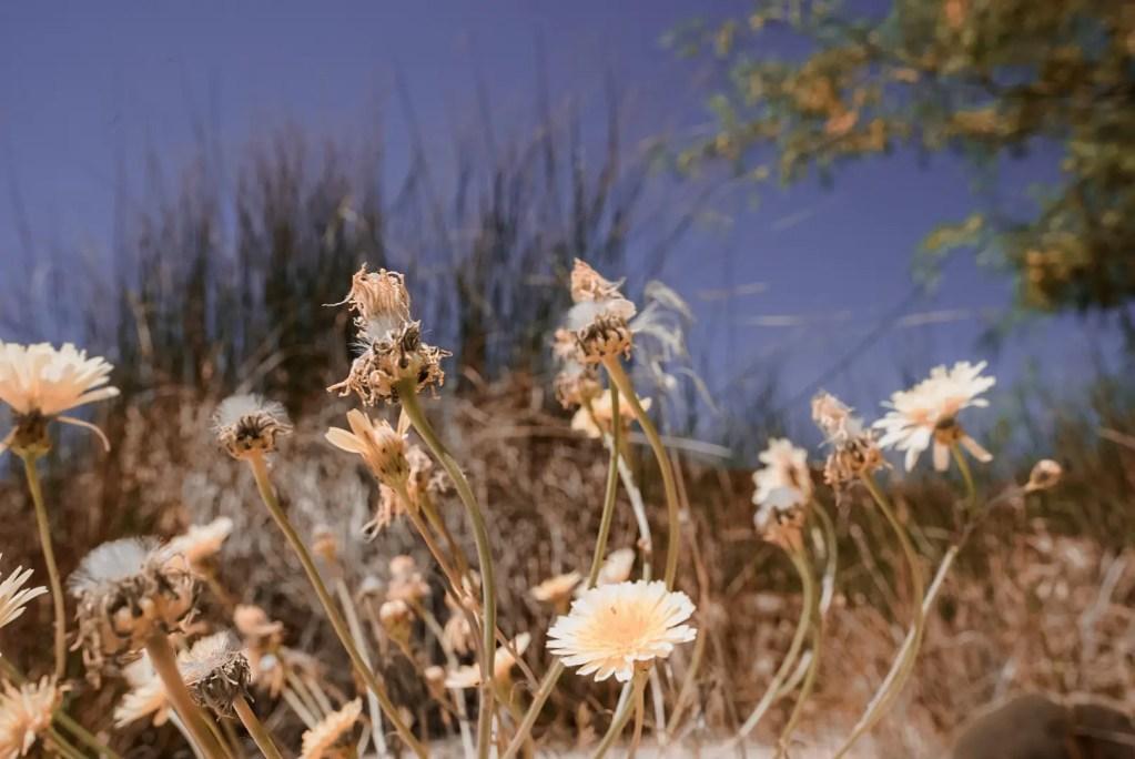 Red Rock Canyon Desert Flowers