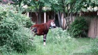 Chester Zoo Okapi 2