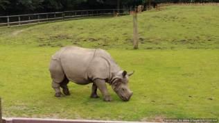 Chester Zoo rhino