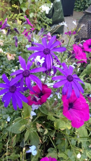 Purple senetti