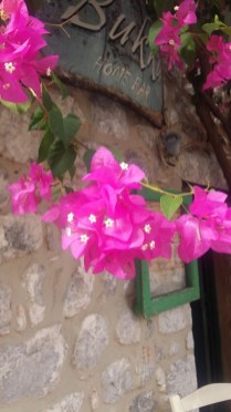 Areopoli bougainvillea close up 2