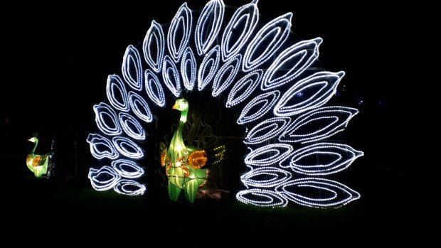 Birmingham Magic Lantern Festival - light up peacock