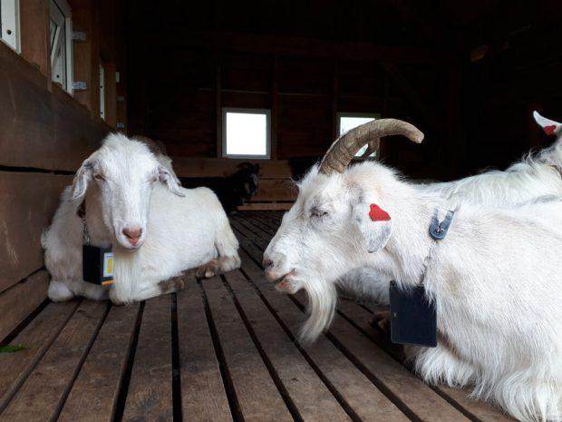 Goats at Mount Floyen summit