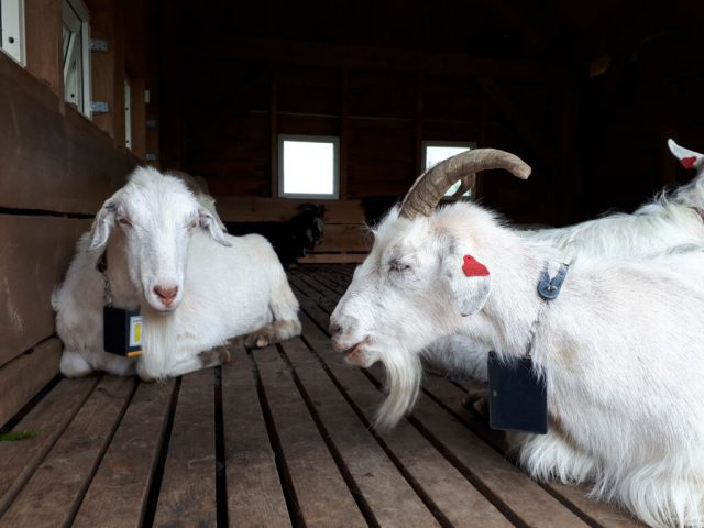 Goats at Mount Floyen summit