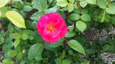 Rose at Parc de la Tête d'Or (2)