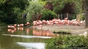 Chester Zoo flamingos